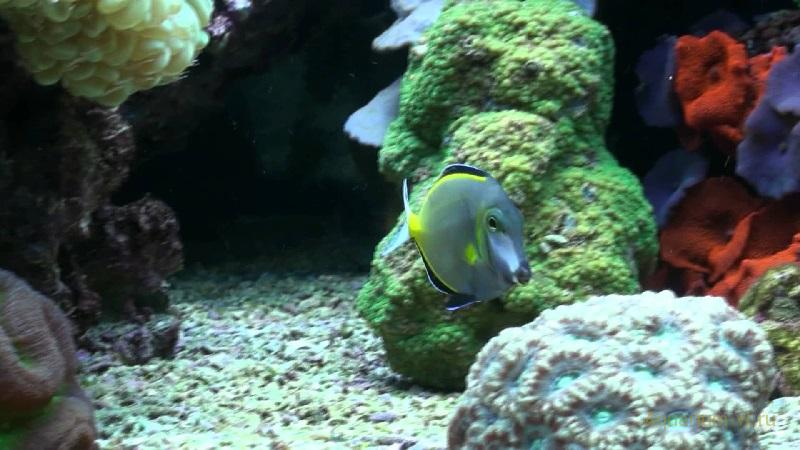 Морская рыбка Хирург японский
