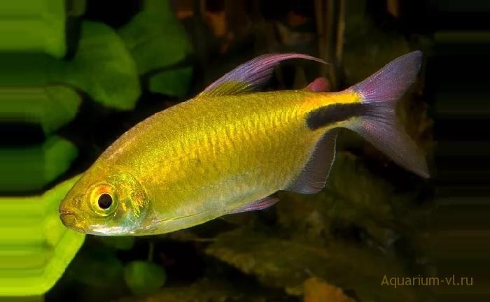 Конго жёлтый «Alestes longipinnis»