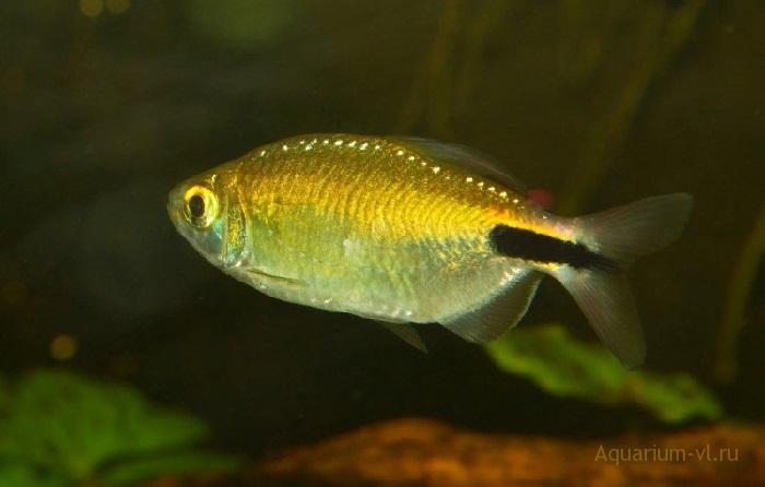 Содержание в аквариуме Конго жёлтый