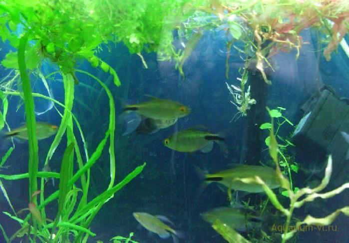 Размножение в аквариуме Конго жёлтый