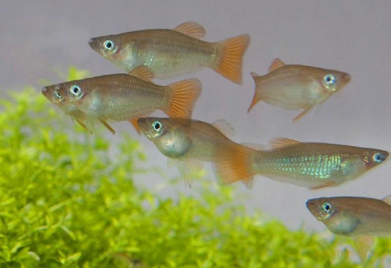 Аквариумная рыбка Альфаро бирюзовый