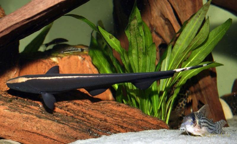 Аптеронот белопёрый (Чёрный нож)