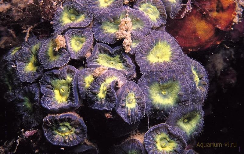 Содержание кораллов Бластомусса