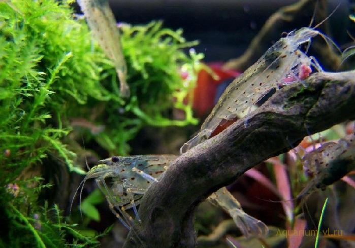 Креветка Амано размножение
