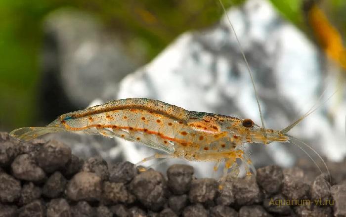 Пресноводные креветки Амано для аквариума