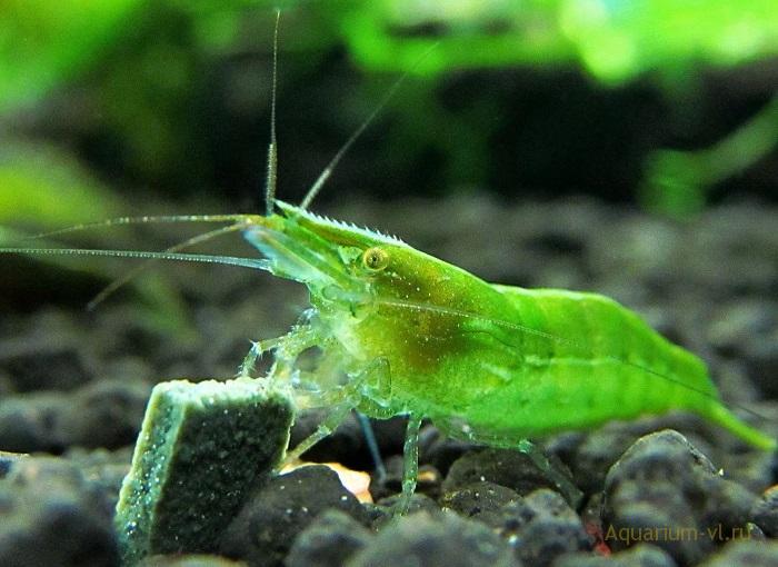 Зелёные креветки