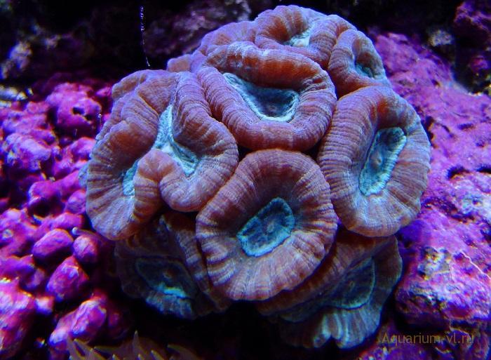 Кормление кораллов Кауластрея