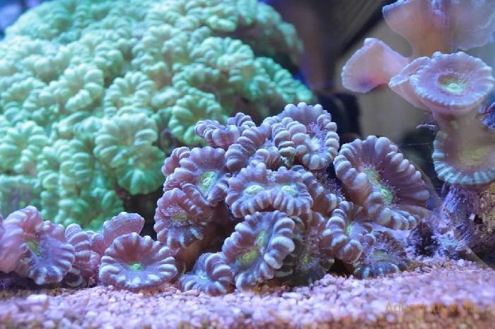 Содержание в аквариуме Caulastrea spp.