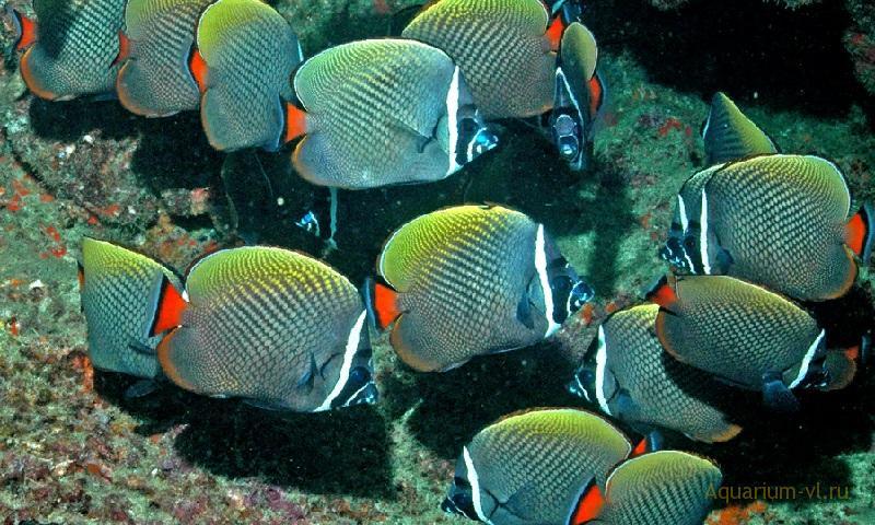 Морская рыбка Бабочка пакистанская