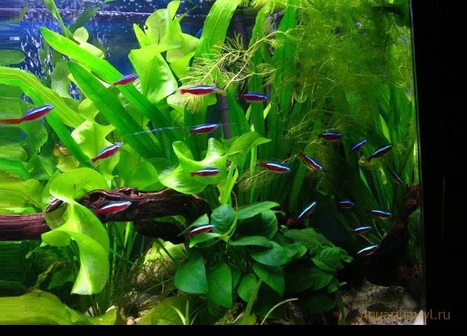 Аквариумная рыбка Неон красный