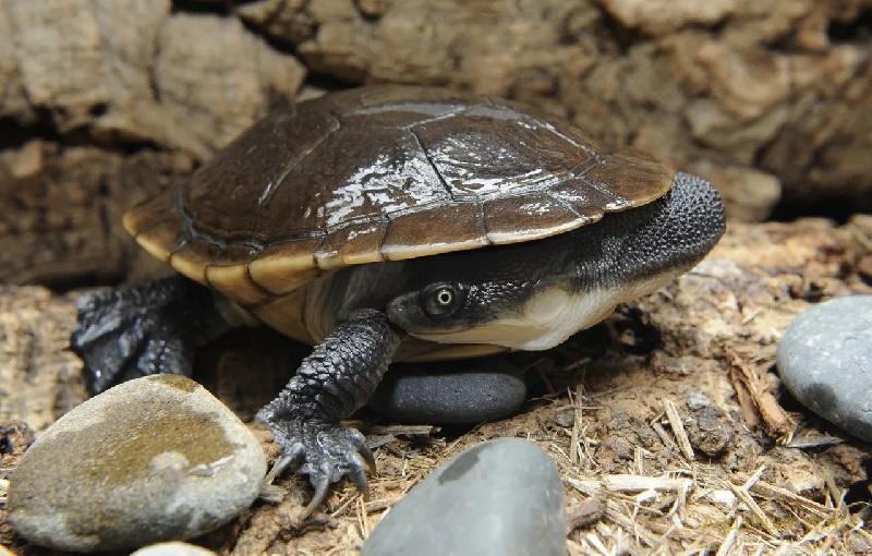 Австралийская змеиношейная черепаха