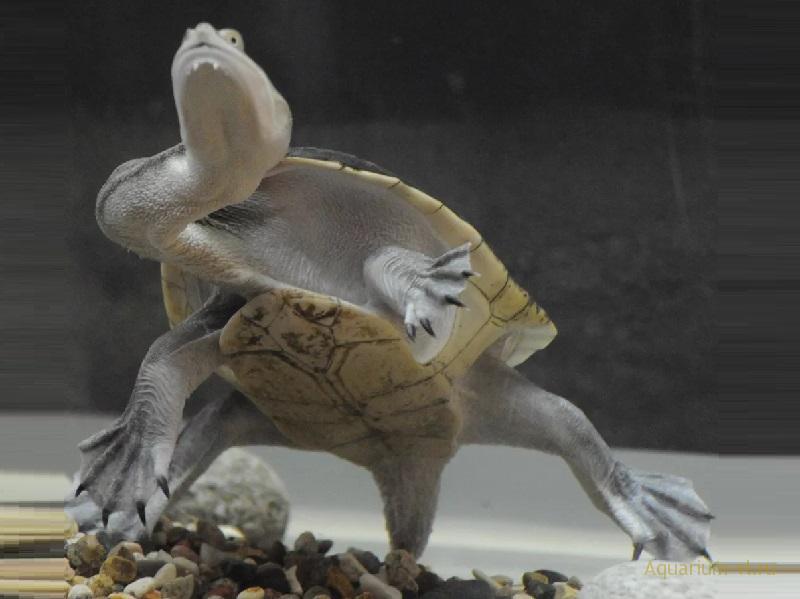Змеиношейная черепаха в аквариуме