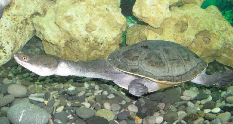 Размножение Змеиношейная черепаха