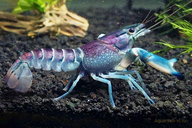 Великолепный пурпурный аквариумный рак