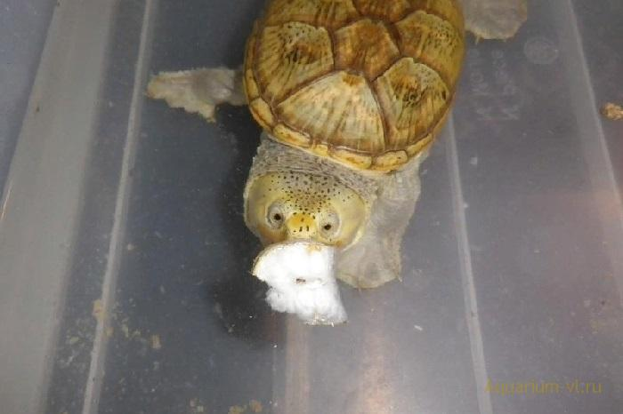 Кормление черепахи Claudius angustatus