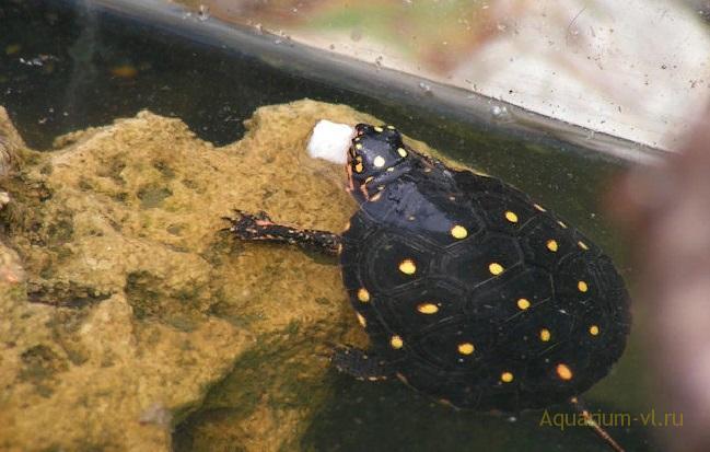 Черепаха Clemmys guttata