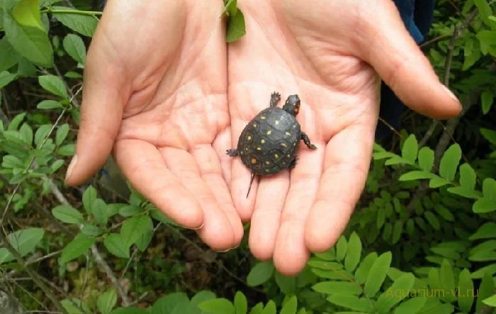 Малыш пятнистой черепахи