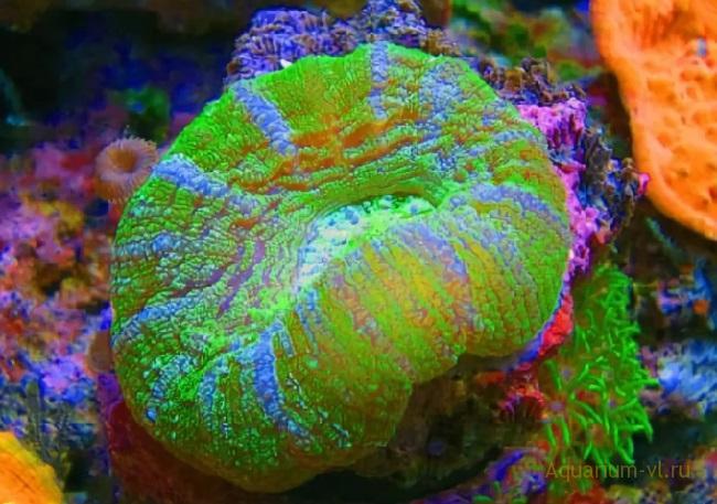 Кормление кораллов Мадрепоровый коралл цинарина