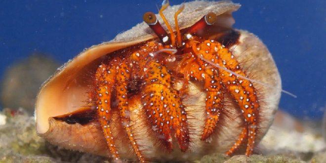 Dardanus spp.
