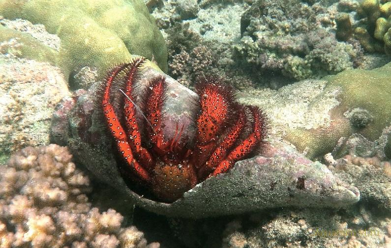 Dardanus spp. рак-отшельник