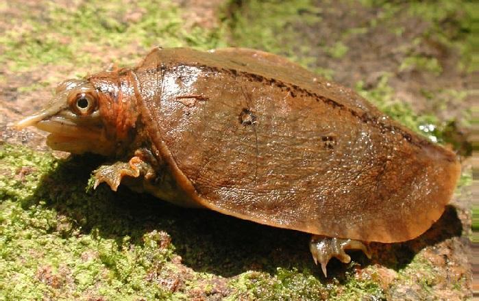 Догания или малайская мягкотелая черепаха