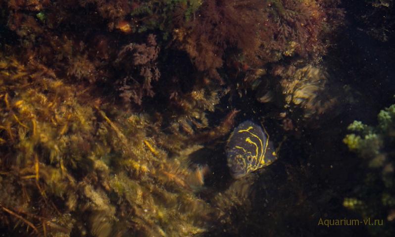 Мурена ехидна цепочная в аквариуме