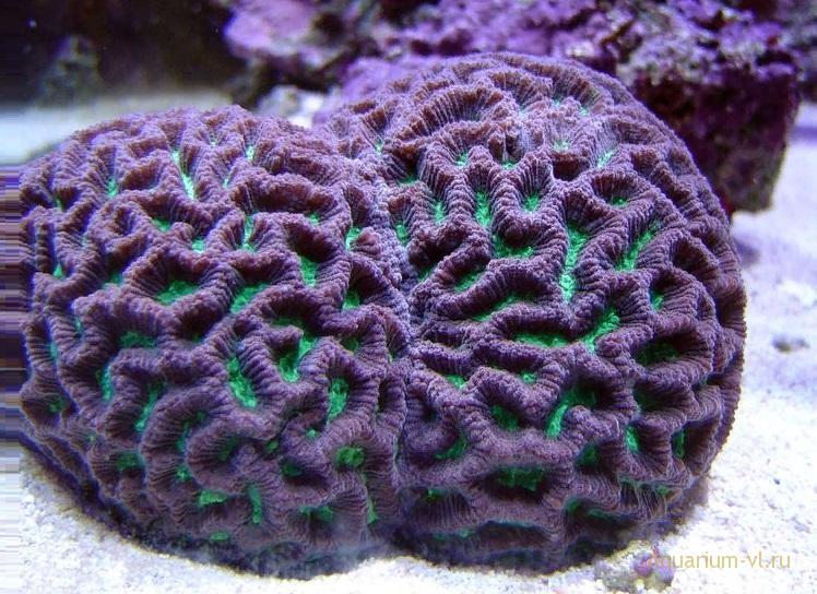 Кормление кораллов Фавитес