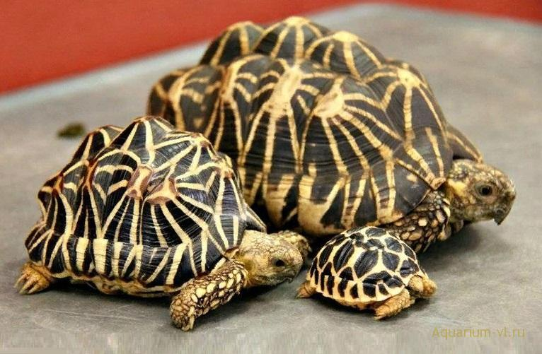 Элегансы черепахи