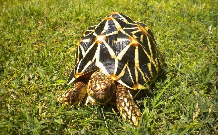 Индийская звёздчатая черепаха