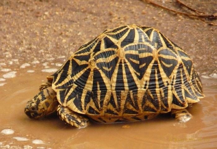 Звёздчатая черепаха или индийская