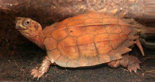 Горная черепаха Шпенглера