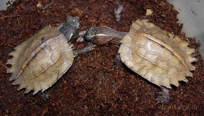 Черногрудая листовая черепаха