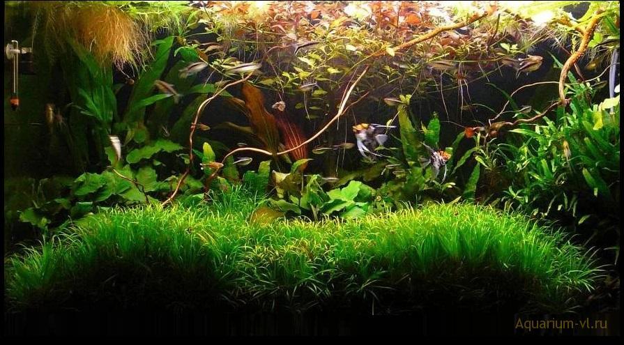 Содержание Медной тетры в аквариуме
