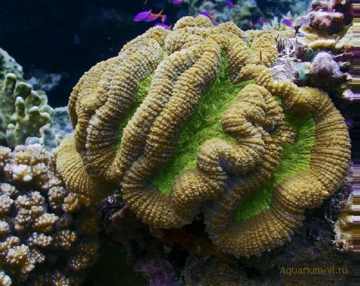 Лептория, коралл-мозговик