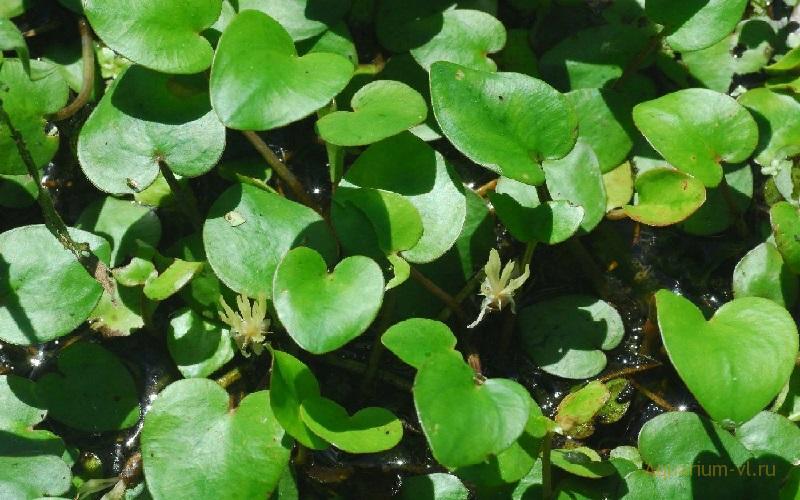 Внешний вид Лимнобиум губчатый