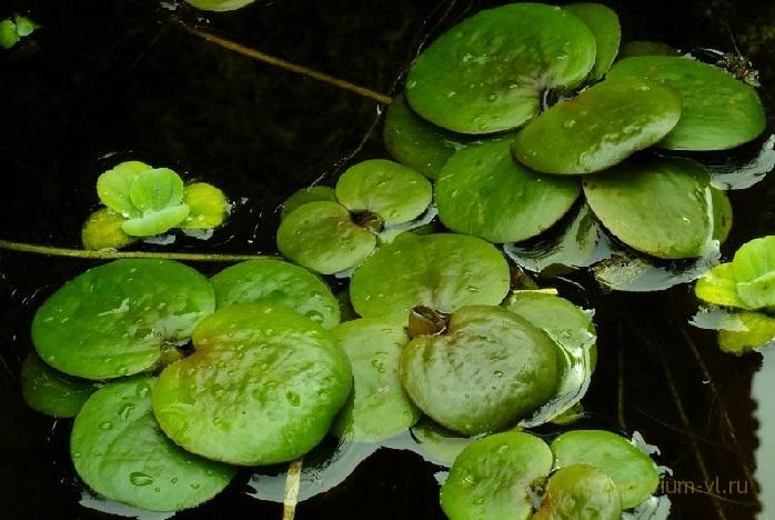 Аквариумное растение Лимнобиум губчатый