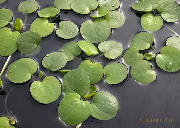 Limnobium spongia аквариумное растение