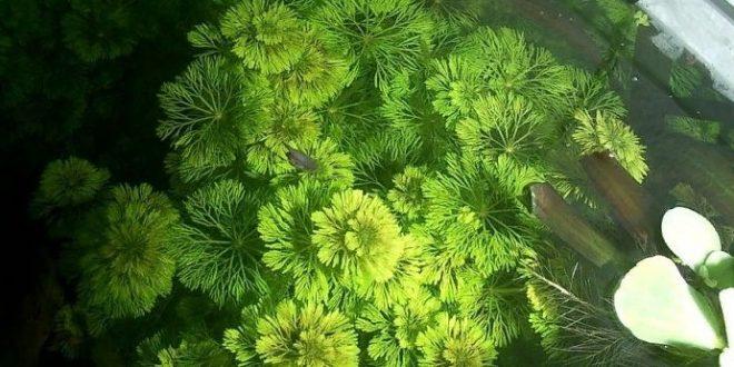 Среда обитания, Лимнофила водная