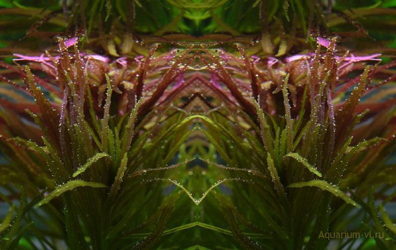 Лимнофила ароматная