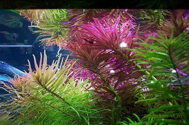 Высадка в аквариум Лимнофила ароматная