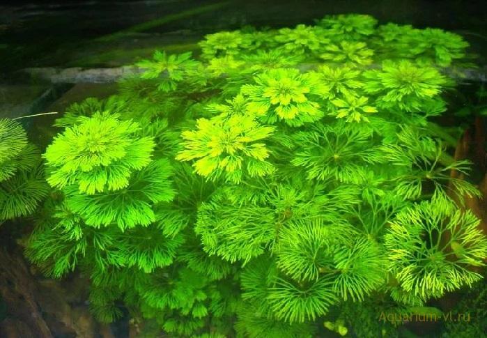 Аквариумное растение Лимнофила сидячецветковая