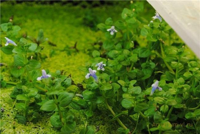 Аквариумное растение Линдерния мелкоцветковая