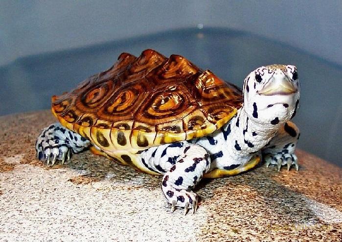 Террапин черепаха