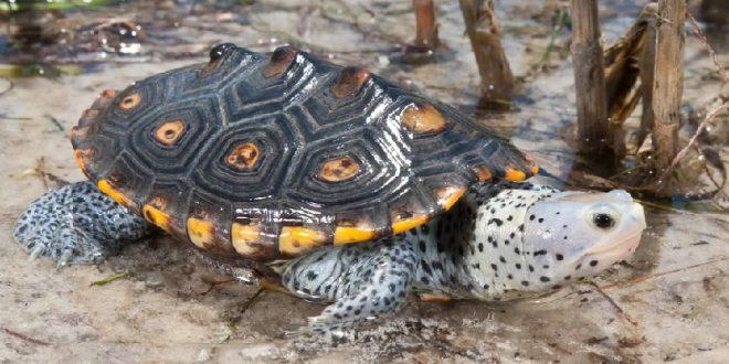 Бугорчатая черепаха «Террапин»