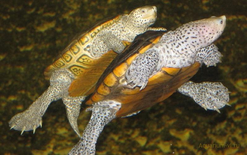 Бугорчатая черепаха