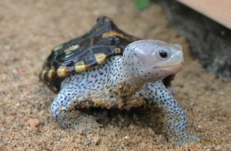 Террапин или Бугорчатая черепаха