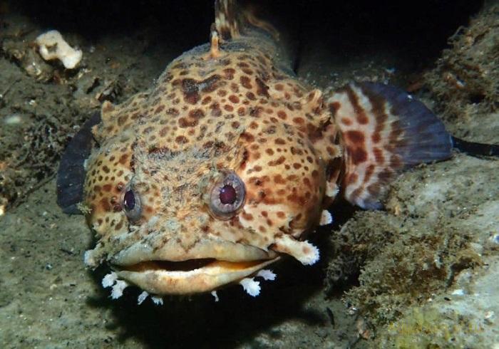 Морская Рыба-жаба
