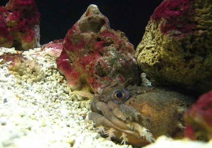 Opsanus beta морская рыбка