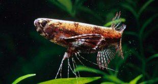 Пантодон «рыба бабочка»