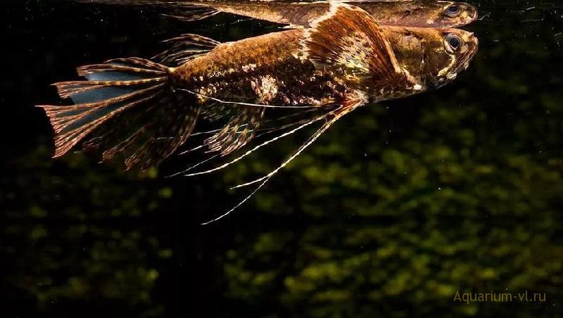 Пантодон или рыба-бабочка